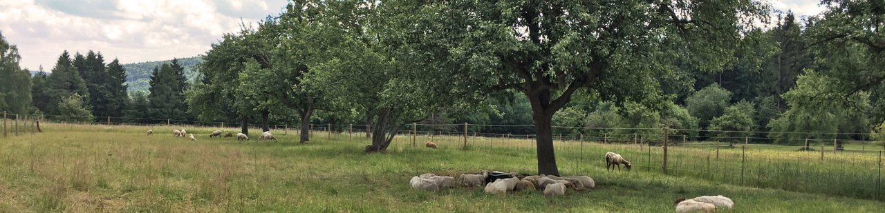 Schafe in Büchenbronn
